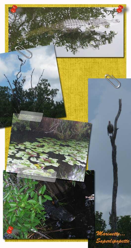 Everglades aligator