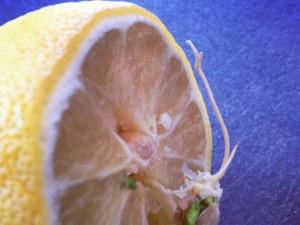 Petit citron deviendra grand ?