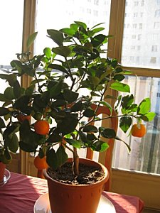 clementinier 1