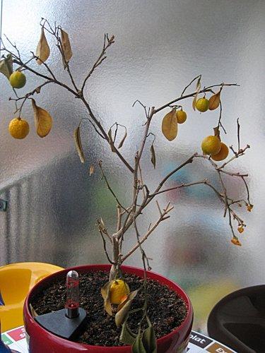 clementinier fin1