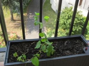 Mon plant de houblon...
