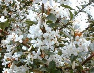 La Fleur d'Osmanthus
