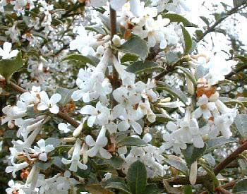 osmanthus fleur