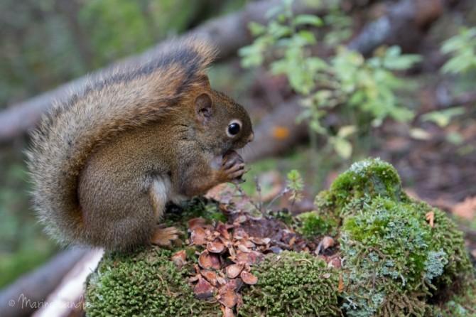 Mauricie-parc-canada-écureuil